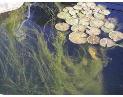 Draadalgen & Groen Water