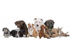 Voeding voor Volwassen Honden